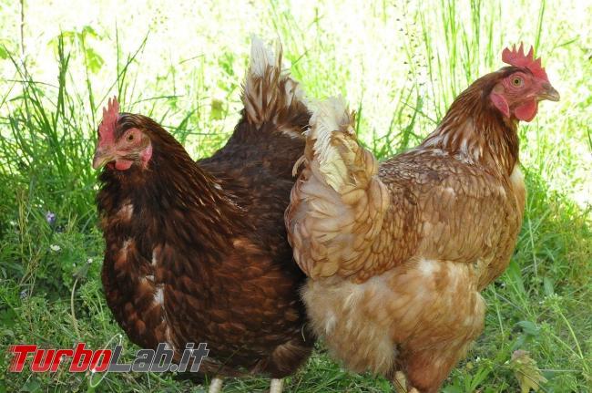 Baratta polli online procurare figli occorrente scuola